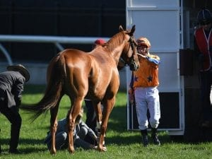 Gingernuts has surgery on pastern