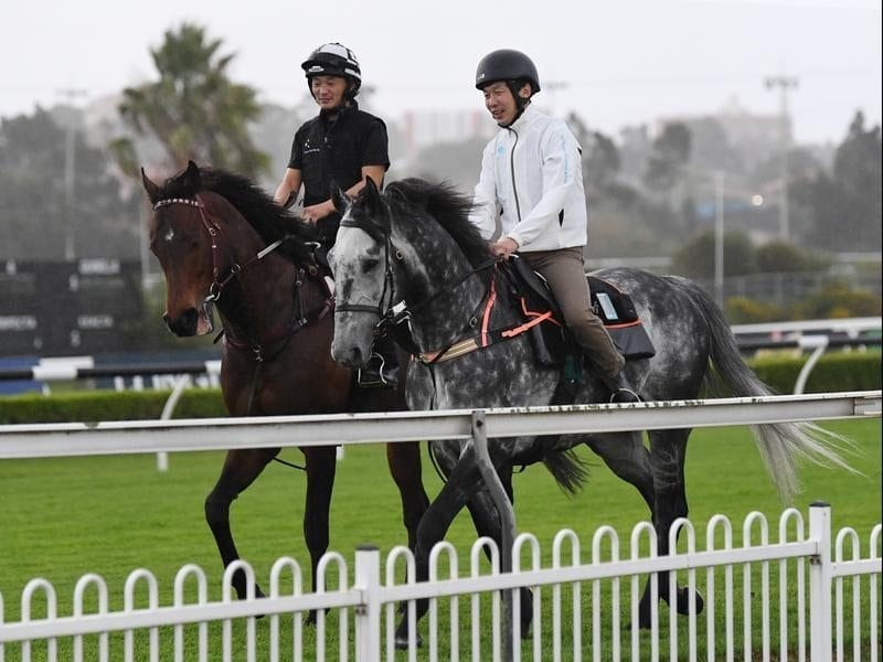 Japanese stayer Prestwick (right) at Canterbury.
