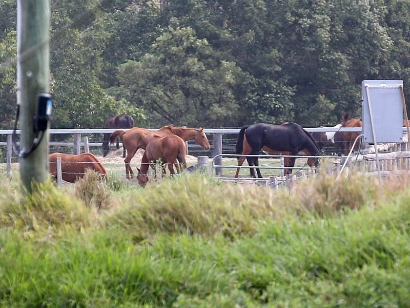 Horses in the grounds of tthe Meramist Abattoir in Caboolture,.